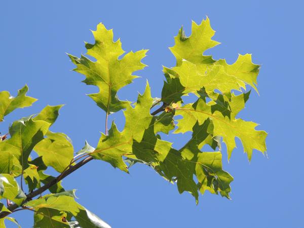 Quercus-acerifolia