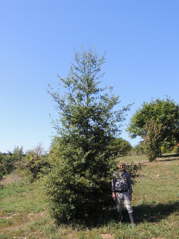 Quercus acutifolia