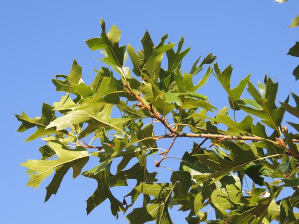 Quercus buckleyi