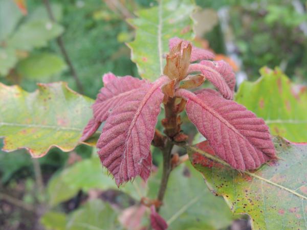 Quercus candicans Née