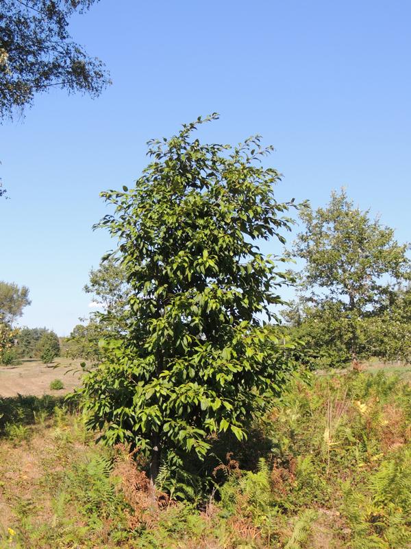 Quercus engleriana