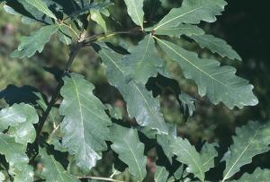 Quercus hartwissiana