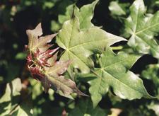 Acer cappadocicum - Gleditsh