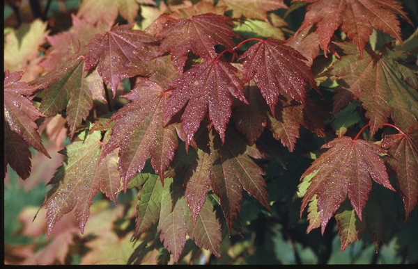Acer circinatum Pursh