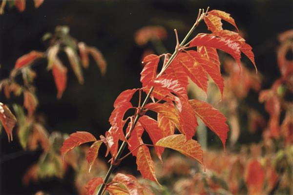 Acer cissifolium (Sieb. & Zucc.) Koch