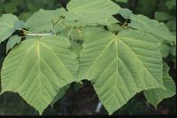 Acer tegmentosum Maximowicz